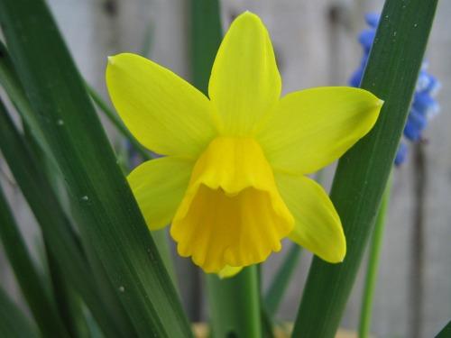small-daffodil